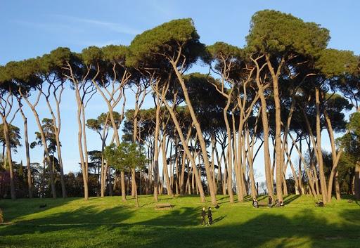 La rottamazione dei pini centenari di Roma